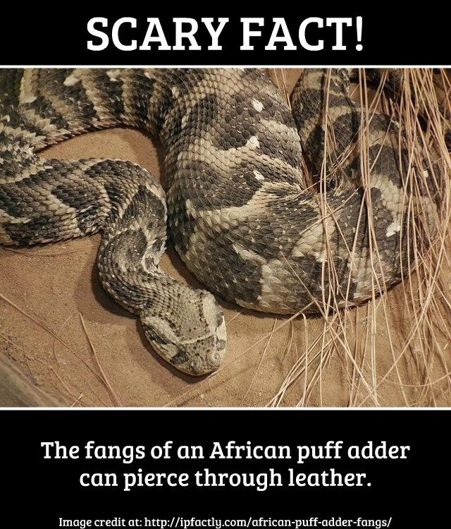 African puff adder