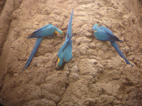 Blue-and-yellow Macaws at the clay lick