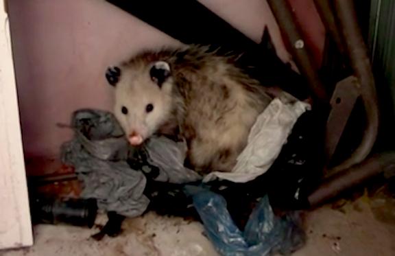 Opossum in a Garage