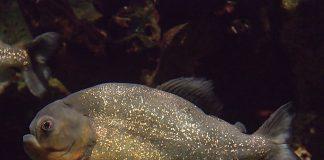 Piranha Photo by Greg Hume