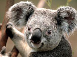 Koala by Gildardo urbina licensed under Creative Commons 4