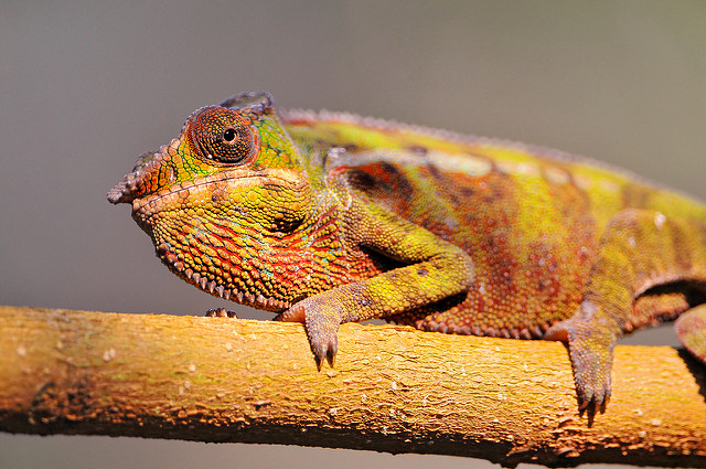 chameleon by Tambako the Jaguar