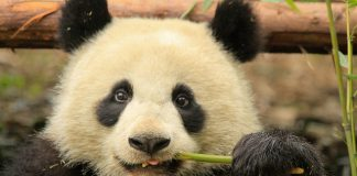 Young Panda in Chengdu Panda Base by La Priz CC6