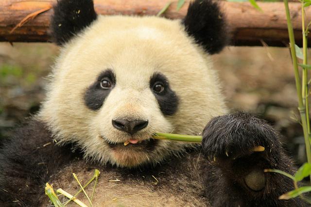 Young Panda in Chengdu Panda Base by La Priz CC6