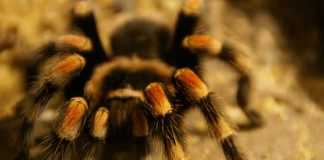 tarantula by lwolfartist cc4