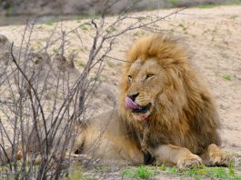 Lion (Panthera leo) by berniedup licensed under Creative commons 5