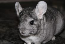 chinchilla-pixabay-cc0